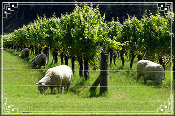 Hawkes Bay Scenic Tours Sheep-in-the-vines in Napier NZ