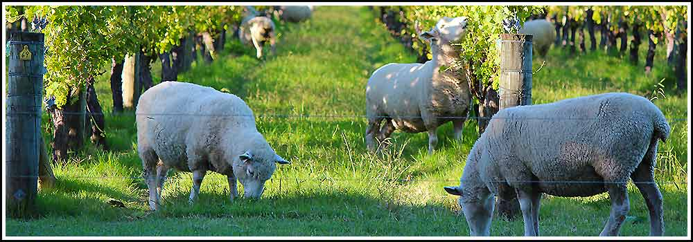 Hawkes Bay Scenic Tours Sheep in the vines in Napier NZ