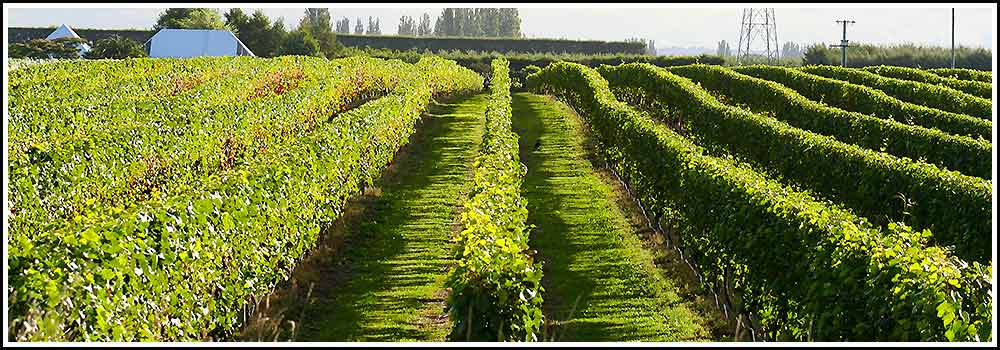 Drive through premium grape growing country on Hawkes Bay Scenic Tours Napier Wine Tours