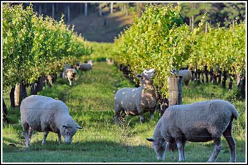 Hawkes Bay Scenic Tours Sheep grasing -in-the-vines