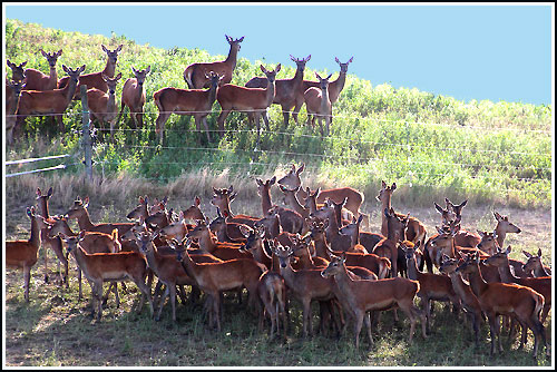 Deer farming along the tour route with Haweks Bay Scenic Tours