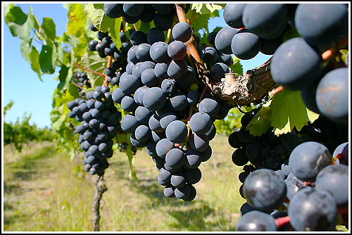 Drive through vineyard country with Haweks Bay Scenic Tours