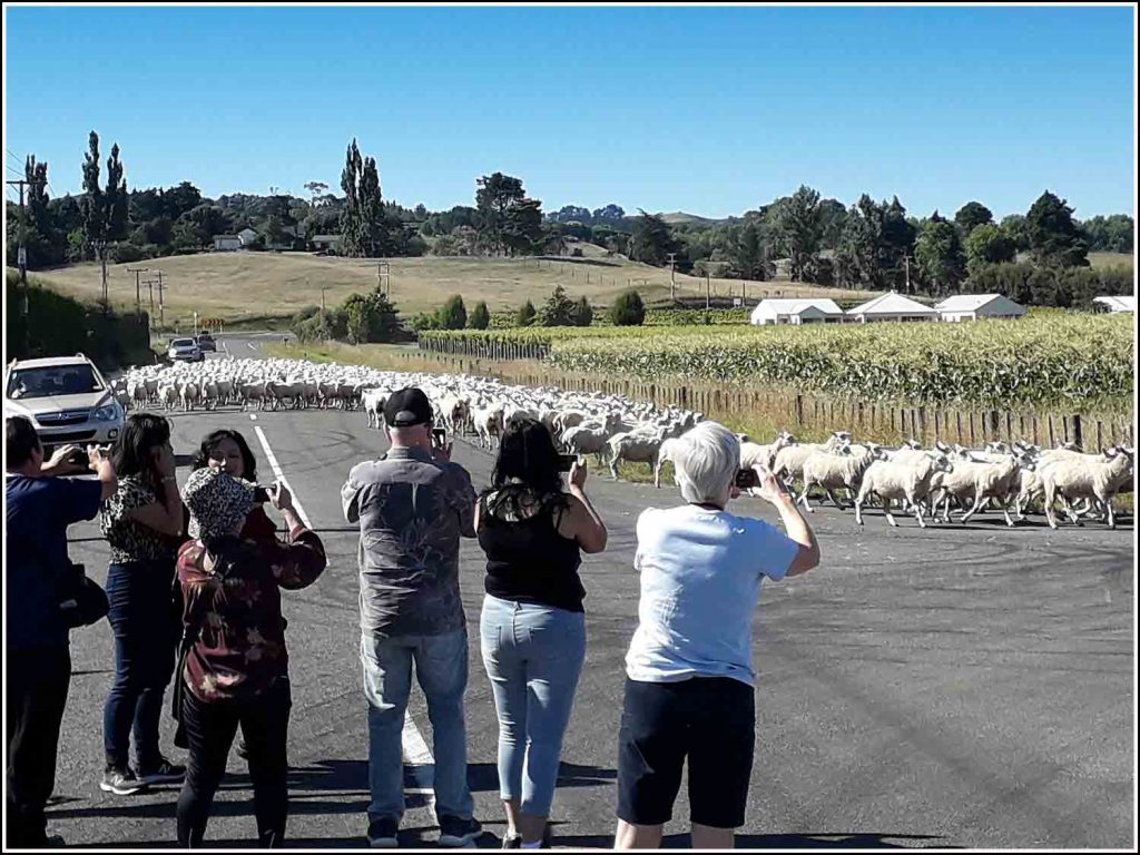 Stopping for a flock of sheep being herded down the road