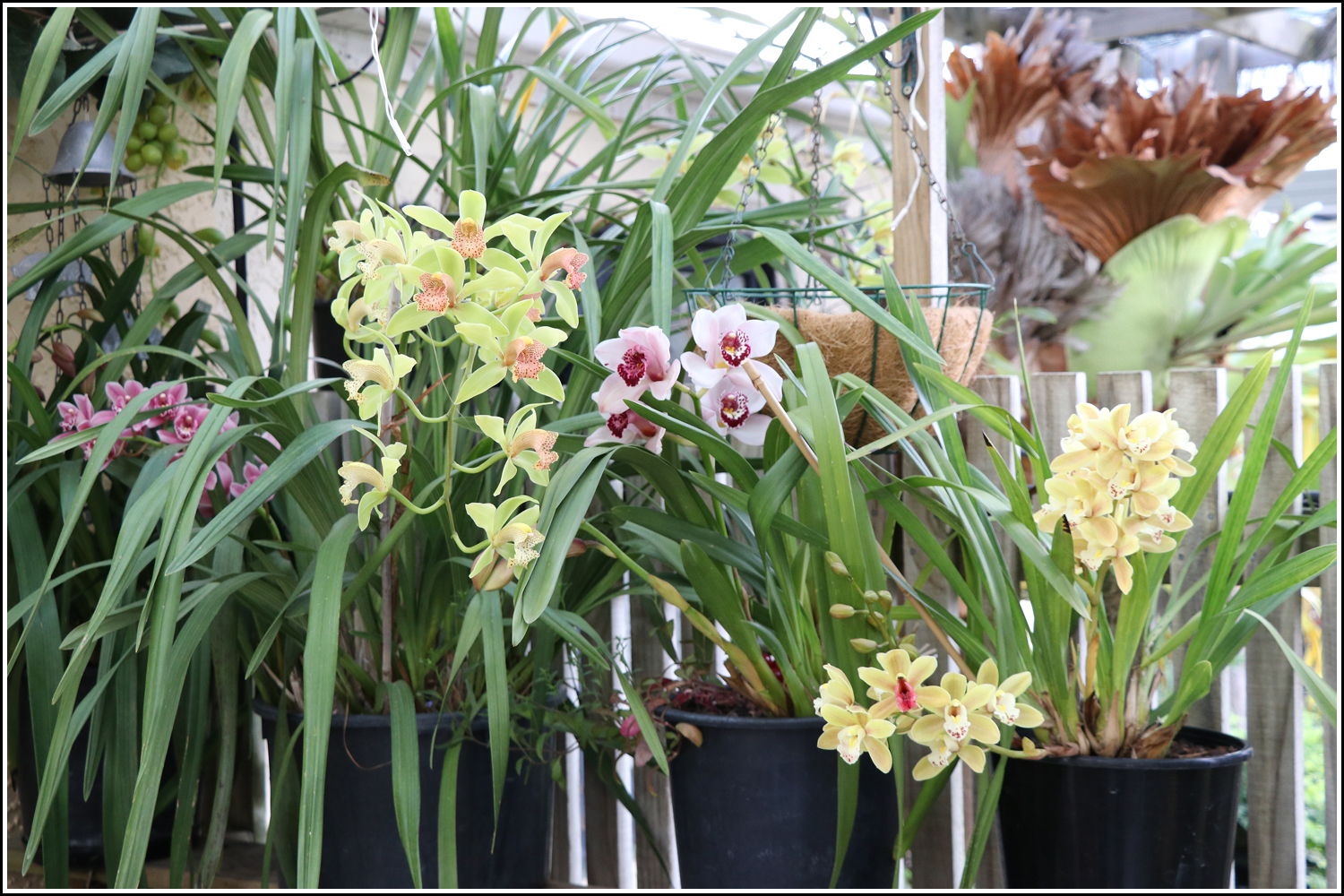 Orchids flowering at Nest Haven Bed and Breakfast, Napier-
